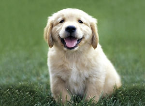 golden-retriever-puppy | Pato.ro un blog pe apa